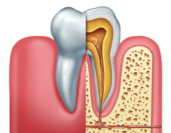 Diagram of tooth showing tooth root at Roane Family Dental.